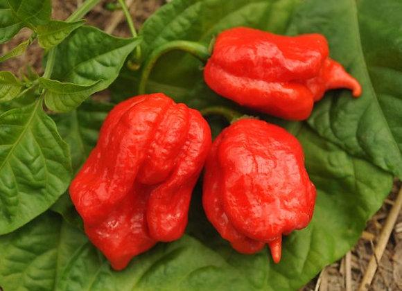 Pepper (hot) - Trinidad Scorpion