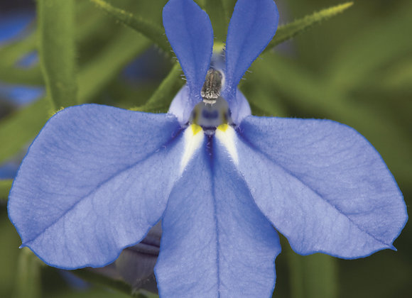Lobelia Trailing - Electric Blue