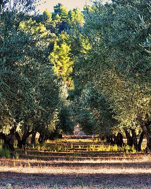 olive-tree-1474782_1920.jpg