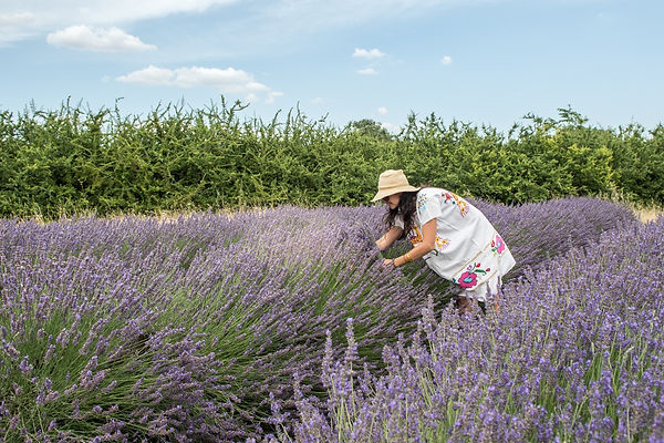 Lady picking lavender in field