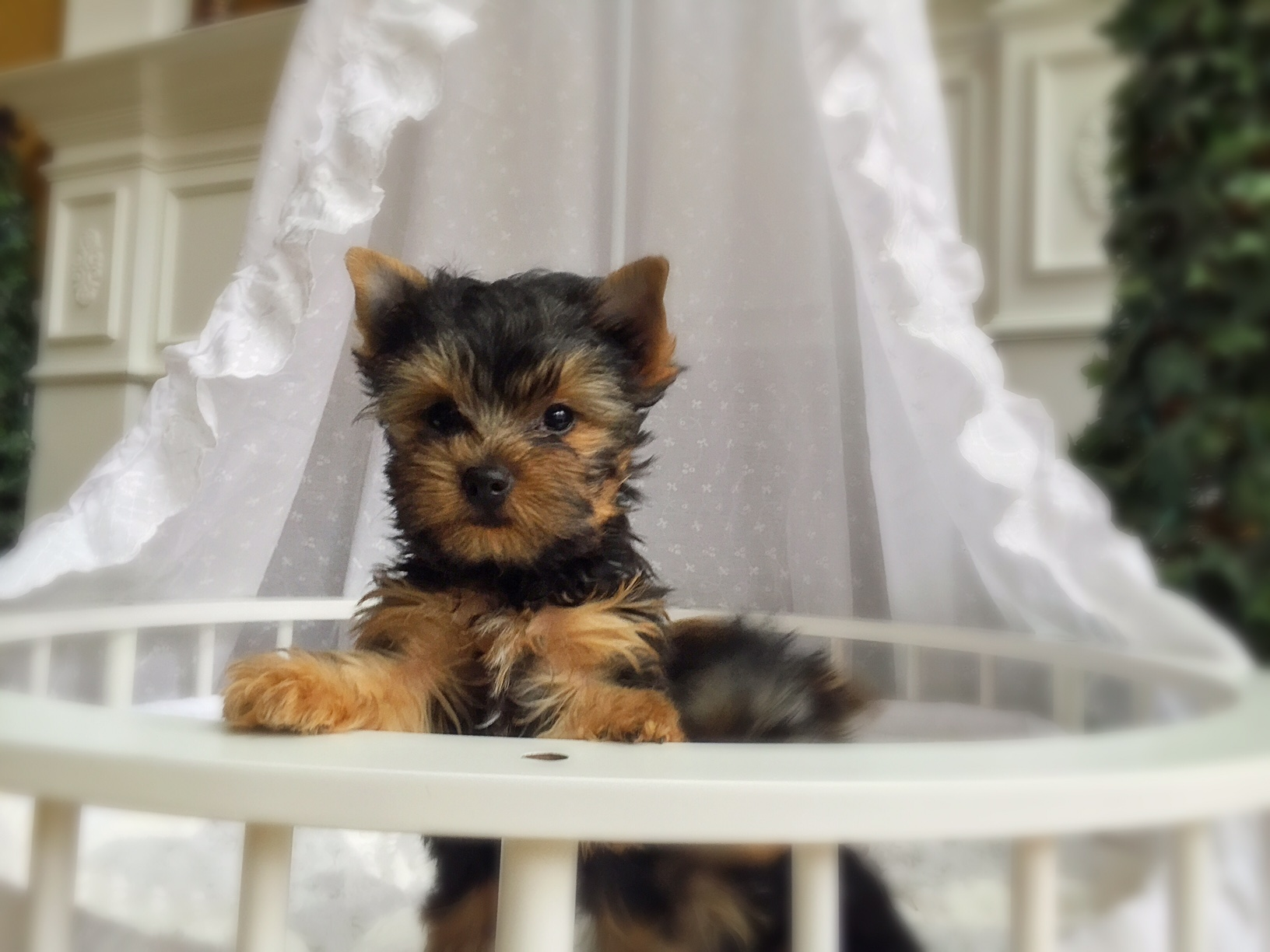 CLIENT GALLERY | ChantaillyLace Breathtaking Yorkie Puppies