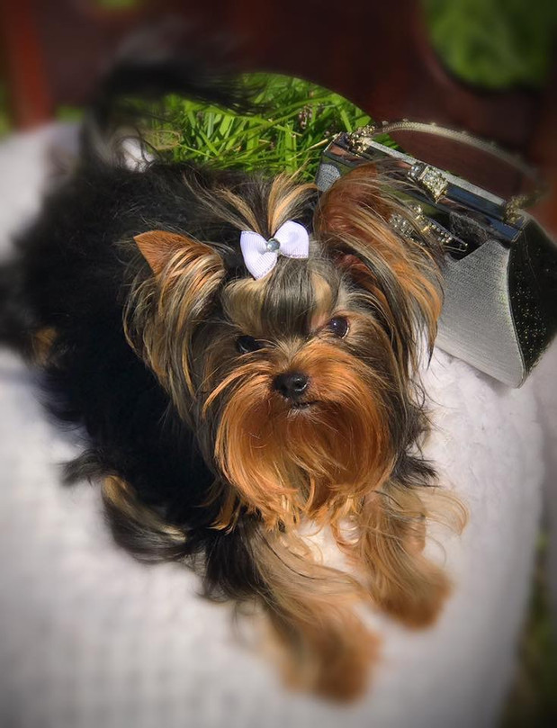 ChantaillyLace Breathtaking Yorkie Puppies For Sale