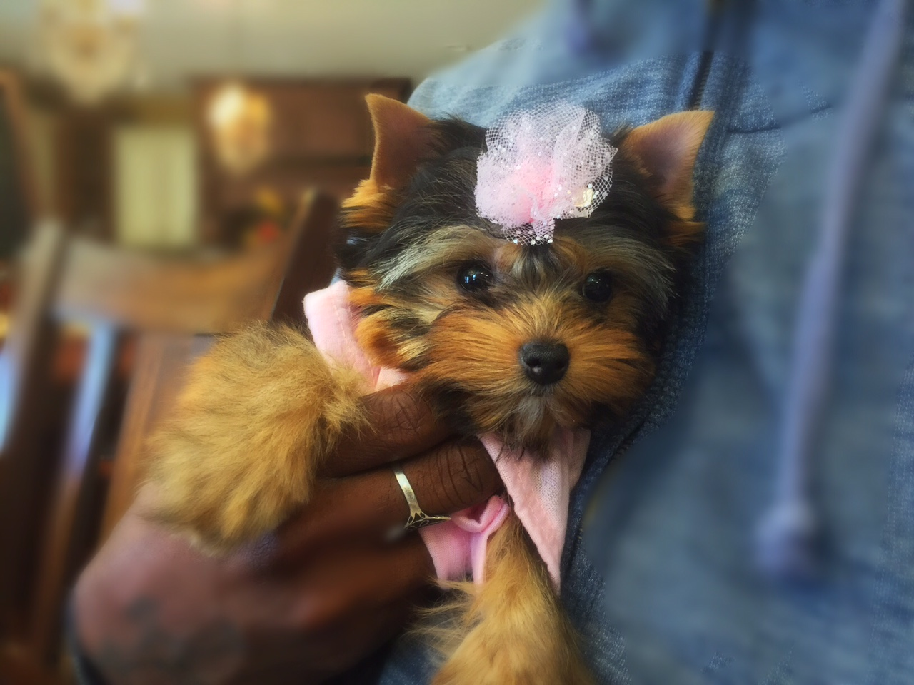 GALLERY | ChantaillyLace Breathtaking Yorkie Puppies For Sale