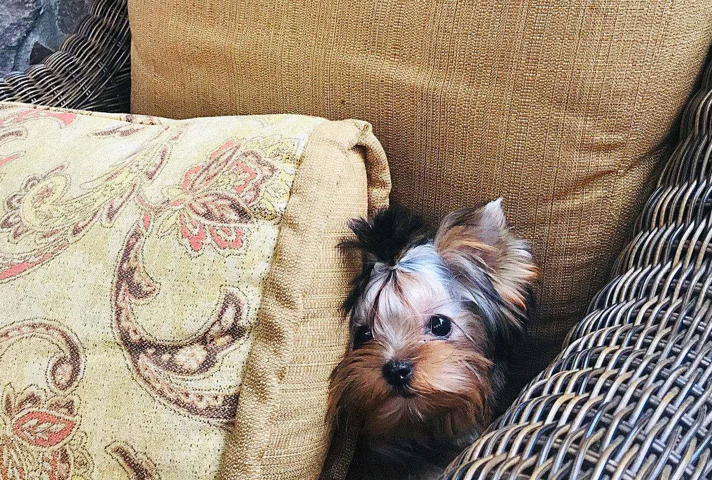 Tiny female yorkie available