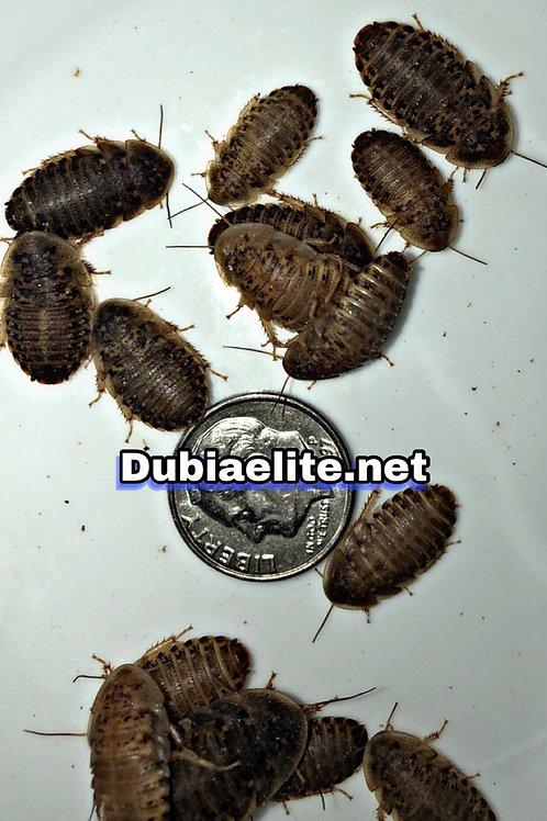 130 Medium Dubia
