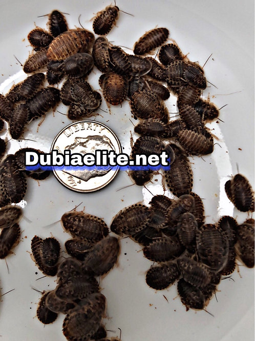 650 Small Dubia