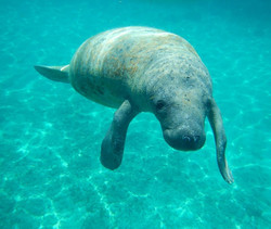 Manatee's in Belize