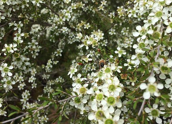 Australian Manuka Honey Seeds