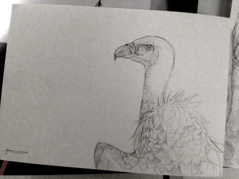 160203_White-Backed Vulture.jpg