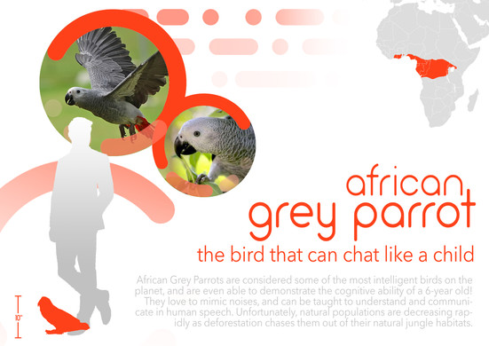 181120_African Grey Parrot.jpg