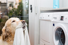 bigstock-Golden-Retriever-Doing-Laundry-