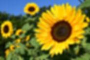 sunflower-1627193_1920.jpg