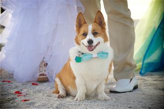 Corgi at a Siesta Key Beach wedding.