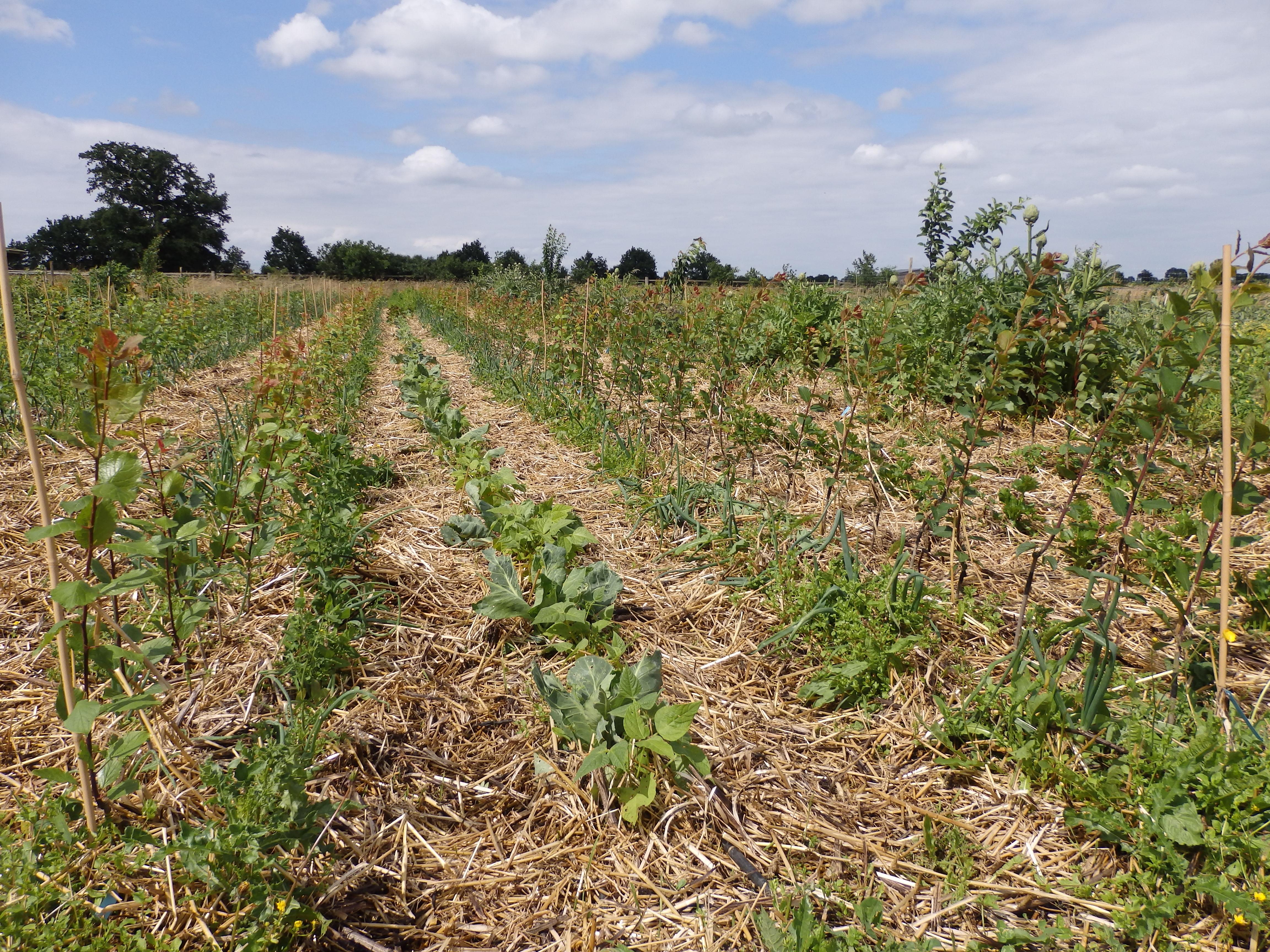 Scions de pruniers et celeris