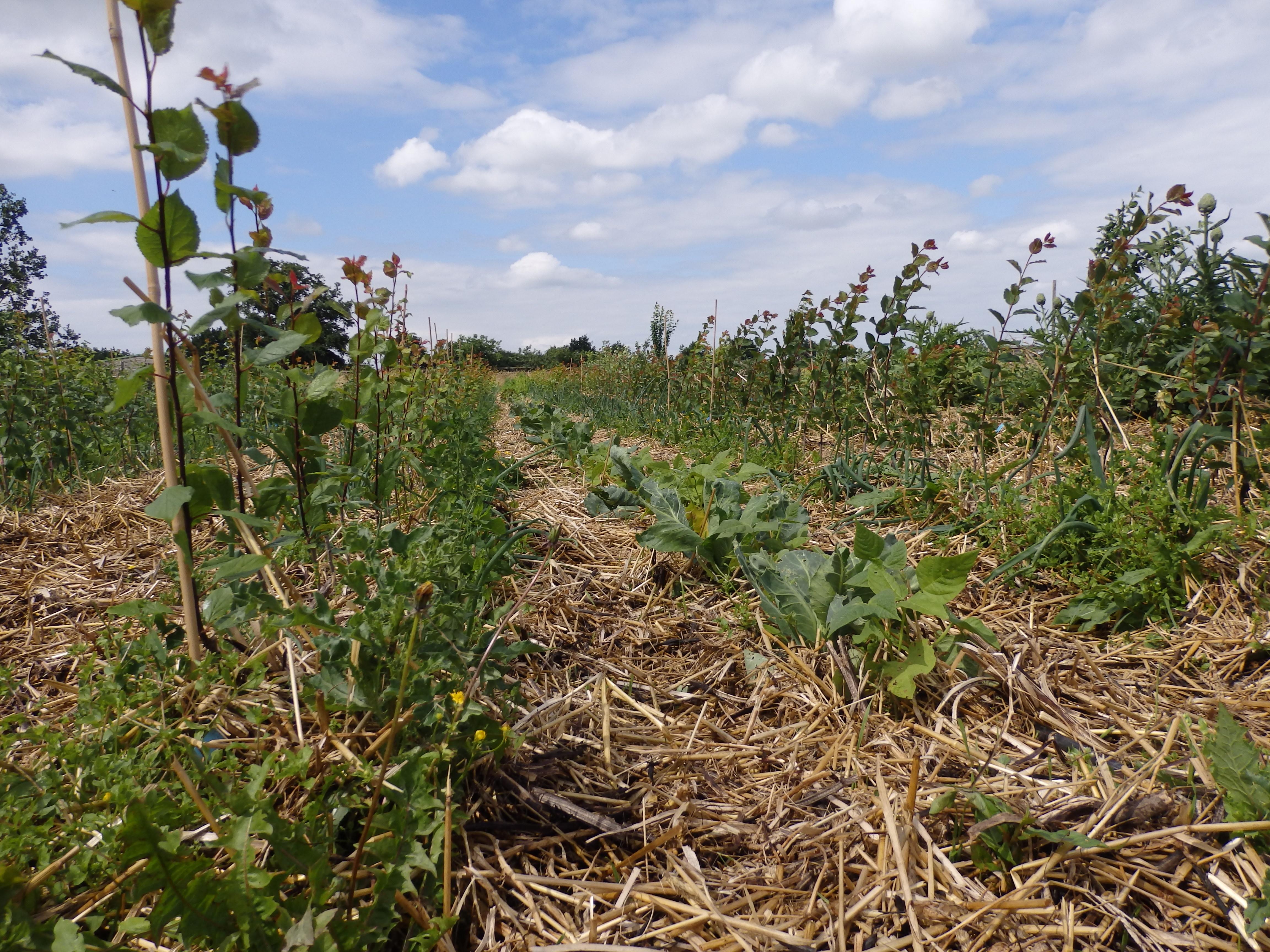 Scions de prunier, haricots et choux