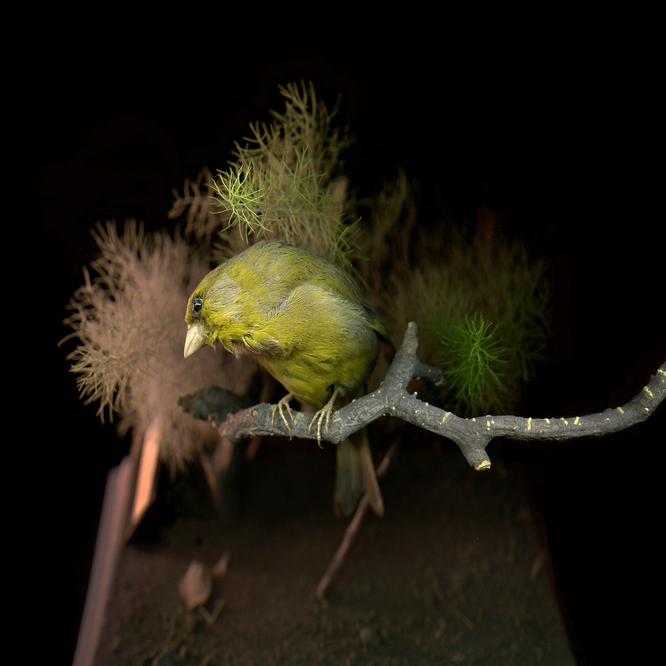 Greenfinch_©_Liza_Dracup_2019.jpg