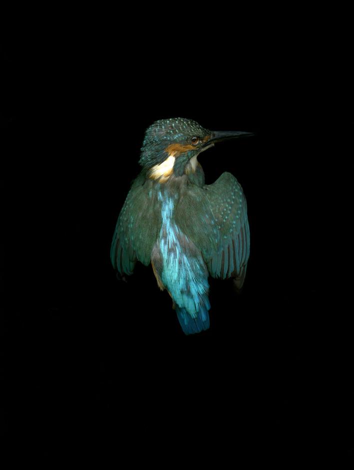 Kingfisher©LizaDracup.jpg
