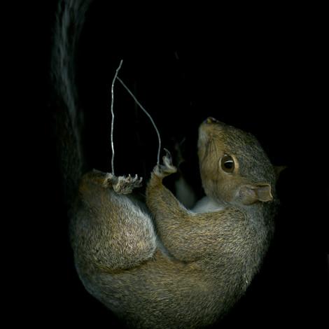 GreySquirrel©LIzaDracup.jpg