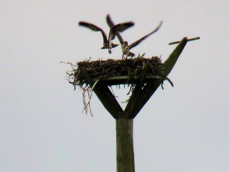 Osprey success