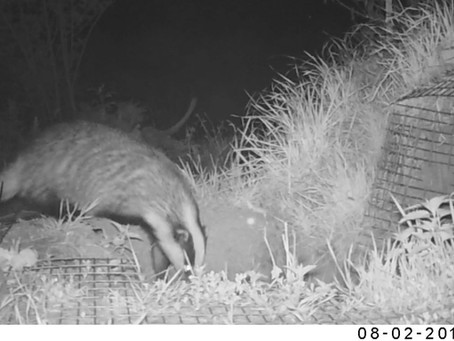 Badgers and developments