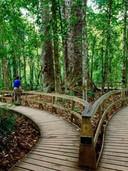 boardwalk-around-four-sisters-kauri-tree