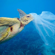 A turtle eats a plastic bag
