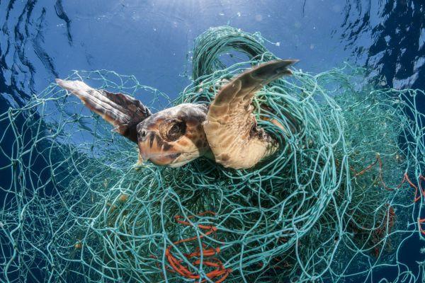 Turtle in fishing net