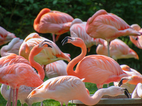 Lets 'Flamingle' or 'Flamangle'