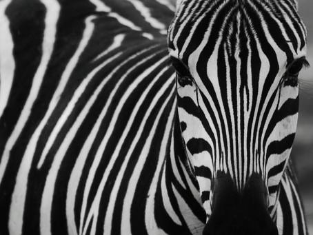 Little By Little A Zebra