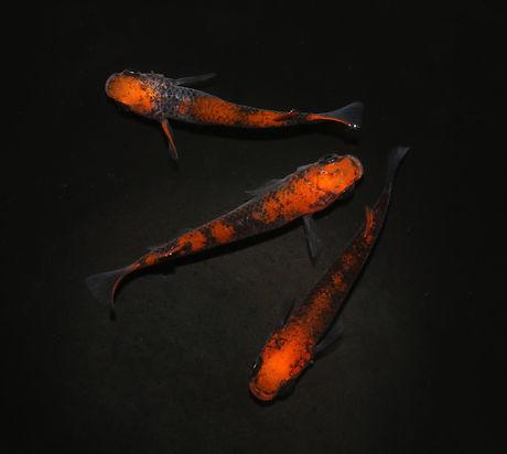 日本改良めだか研究所 上見部門 来光蛇柄1ペア+メス1匹.jpg