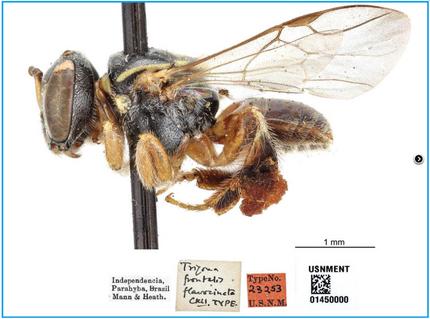Abelhas sem ferrão jati do Nordeste, Plebeia flavocincta (Cockerell, 1912): distribuição no passa