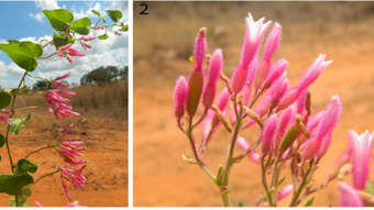 New Belemia (nyctaginaceae) species described from the Amazon.