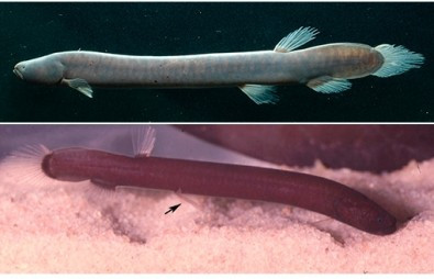 A brand new fish family described in the Amazon