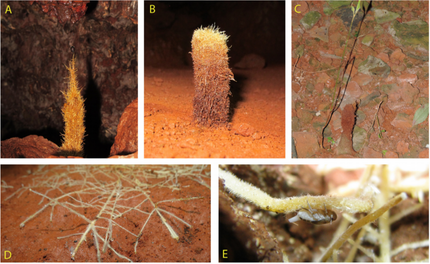 New paper just out! Plants the emit roots into caves (rhizothemes) are an important source of nutrie