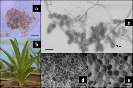 This publication describes how fungi help orchids establish in polluted soils with different metabol