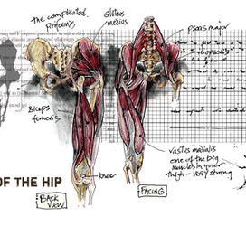 Muscles of the Hip