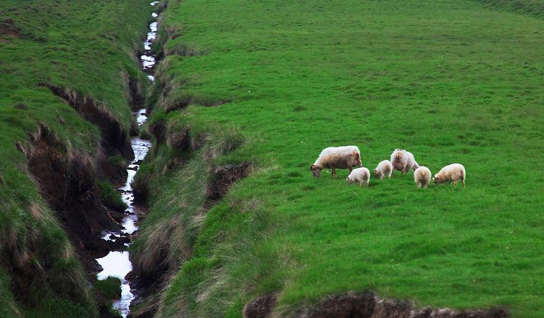 Icelanic Sheep