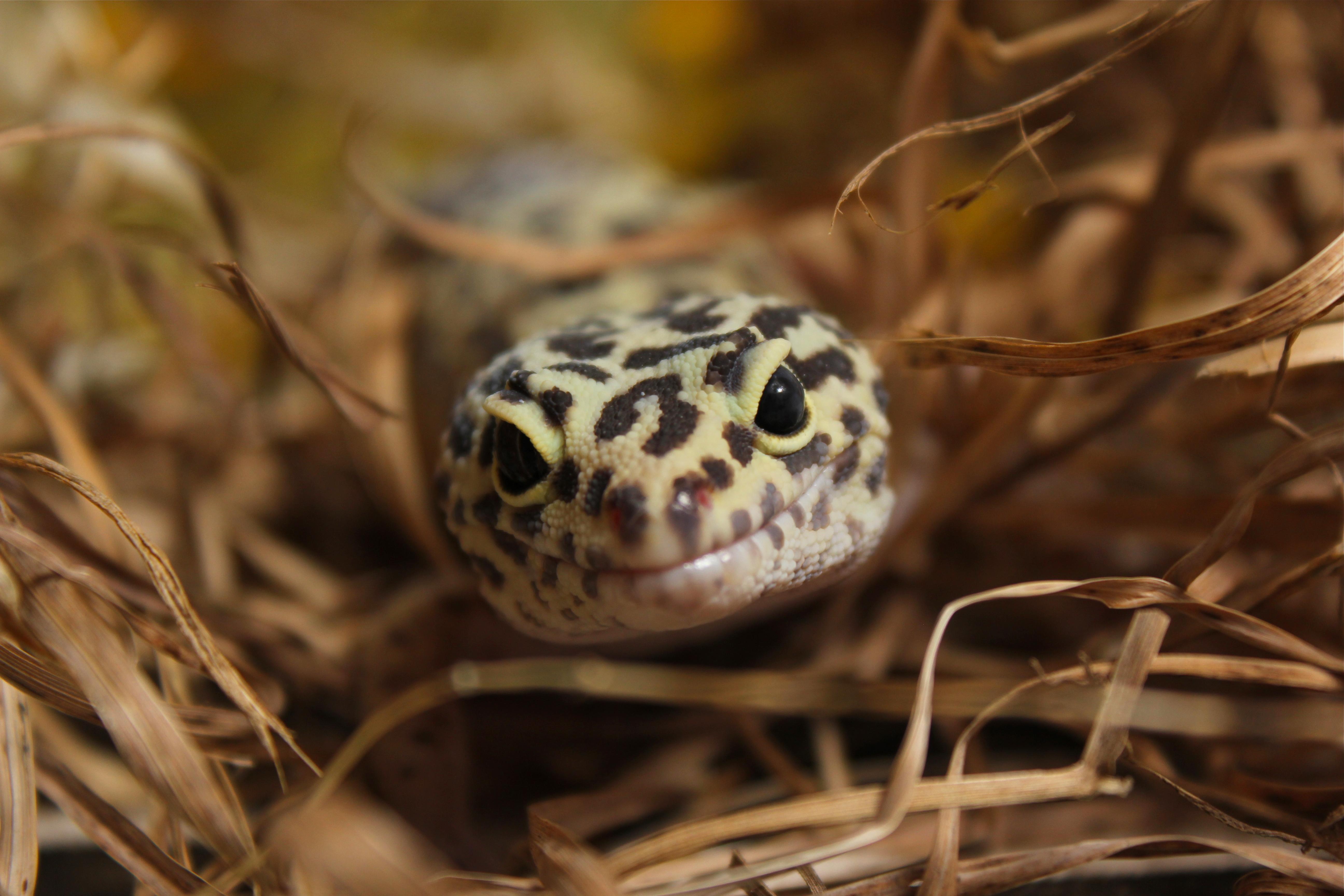 Macro photo of leopard gecko lizard