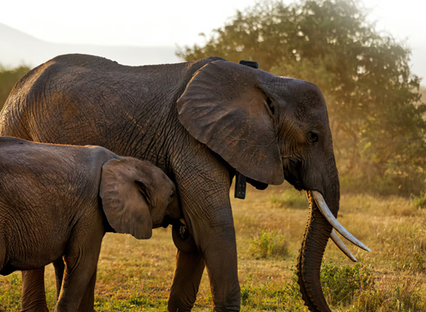 Africa wildlife tracking uses ORBCOMM's satellite IoT to support worldwide conservation efforts