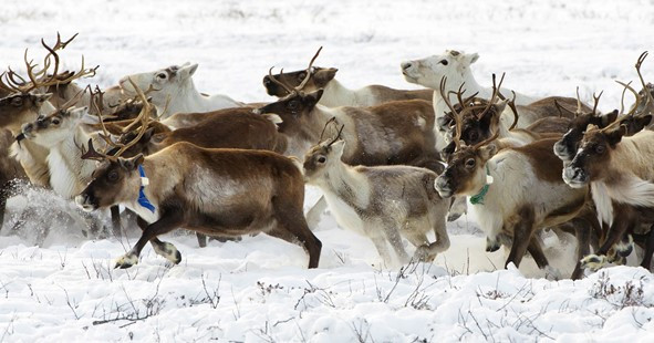 New Globalstar Satellite IoT solution safeguarding reindeer in nordics and beyond