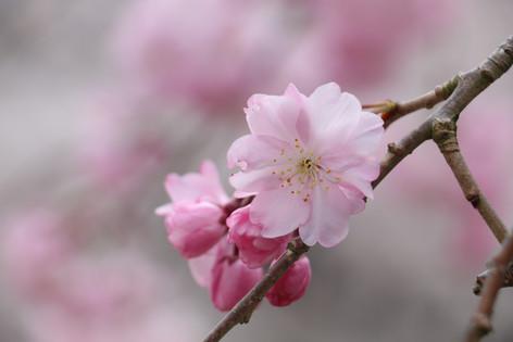 兩公里的櫻花樹下