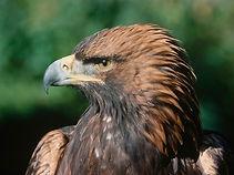 Der Steinadler - das Logo des Nationalpark Kalkalpen