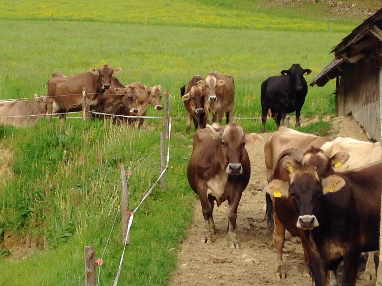 Die Kühe kommen zum Melken