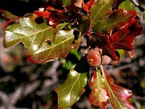 Bigelow Oak