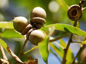 Durrand Oak