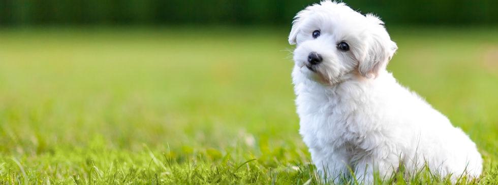 Toy dog breeds (1).jpg