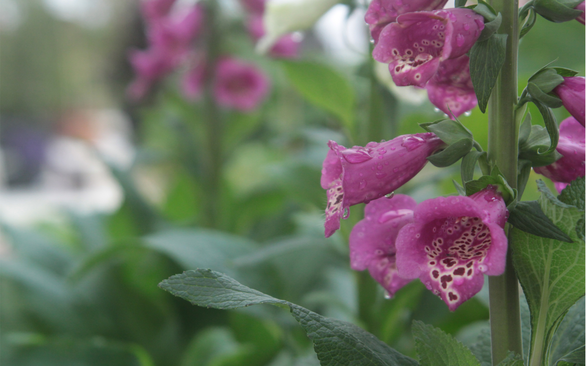 Digitalis purpurea 'Foxglove'