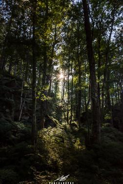 Forest daybreak