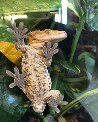 We love Ember our crested gecko, he is s