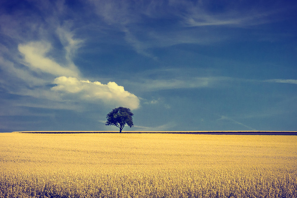 Norfolk landscape with tree in field of rapeseed